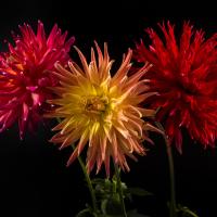Blooms 2+ - 2nd Place - Bill Meyer - AC Cougar/Bear Cr. Sunrise/BQ Cay