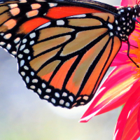 Macro View - 1st Place (and Best Photo 2018) - Daniel Kavanagh - Monarch Butterfly on Seedling