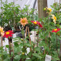 Blooms in the greenhouse at Piper Creek Trial Garden