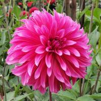 Bloomquist Pinwheel  in Tacoma Trial Garden, Stake 15