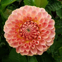 20th Ave Softer Peach  in Tacoma Trial Garden, Stake 30