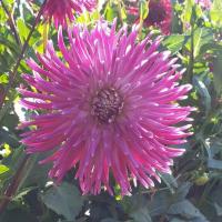 Allen's Sparkle  in Tacoma Trial Garden, Stake 7