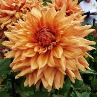 Allen's Big Bang  in Tacoma Trial Garden, Stake 8